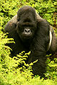 Berggorilla macht Gorilla Marketing, Bild von http://www.flickr.com/photos/59824614@N00