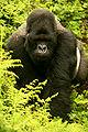 Berggorilla macht Gorilla Marketing, Bild von http://www.flickr.com/photos/59824614@N00
